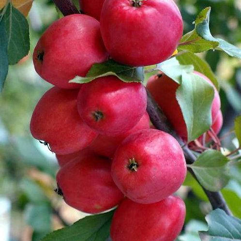 Яблоня 'Китайка Керр'