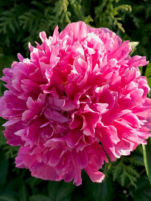 Пион (ярко-розовый, густомахровый)
