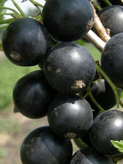 Смородина черная 'Гулливер'