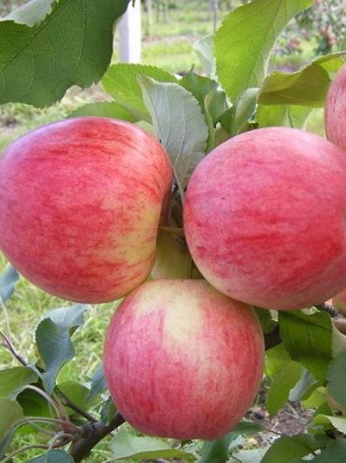 Яблоня 'Орловим'