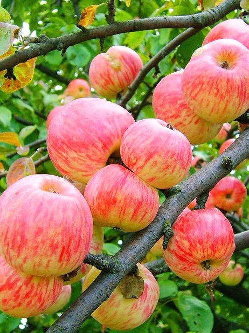 Яблоня 'Коричное полосатое'