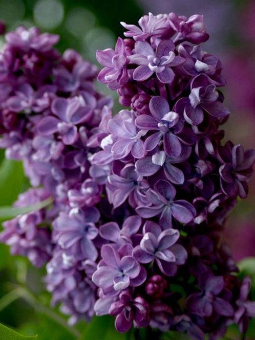 Сирень обыкновенная 'Виолетта'