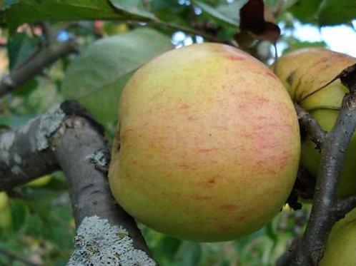 Яблоня 'Осиповское'
