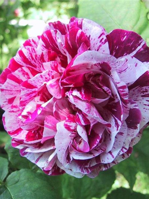 Роза парковая 'Фердинанд Пичард' (FERDINAND PICHARD)