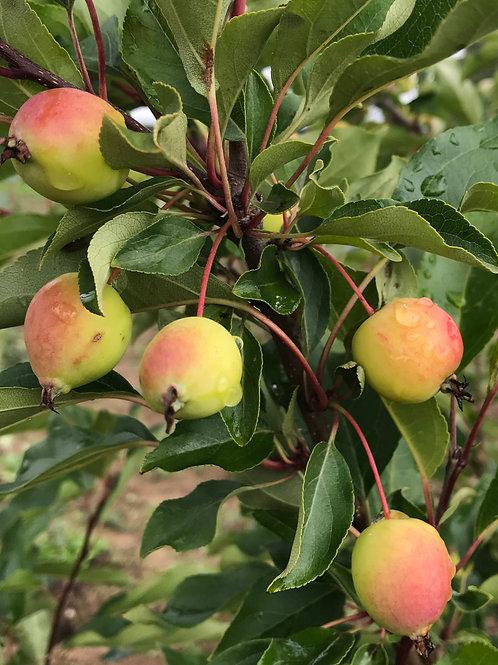 Яблоня 'Китайка Долго'