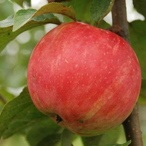Яблоня 'Услада'