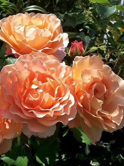 Роза  шраб 'Зоненсельт' (SONNENWELT)