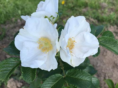Роза  морщинистая 'Альба'
