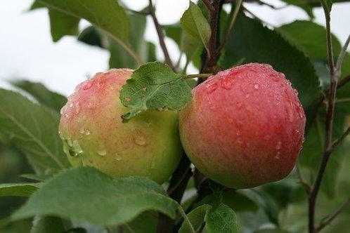 Яблоня 'Мантет'