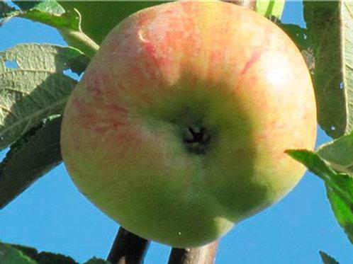 Яблоня 'Конфетное'