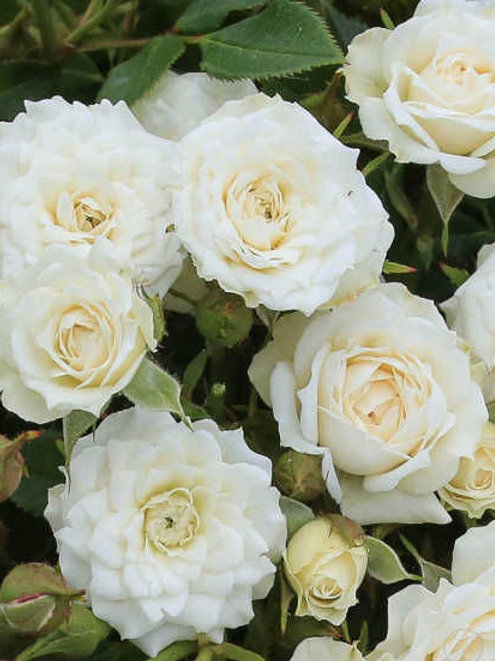 Роза почвопокровная 'Вайт Джем'