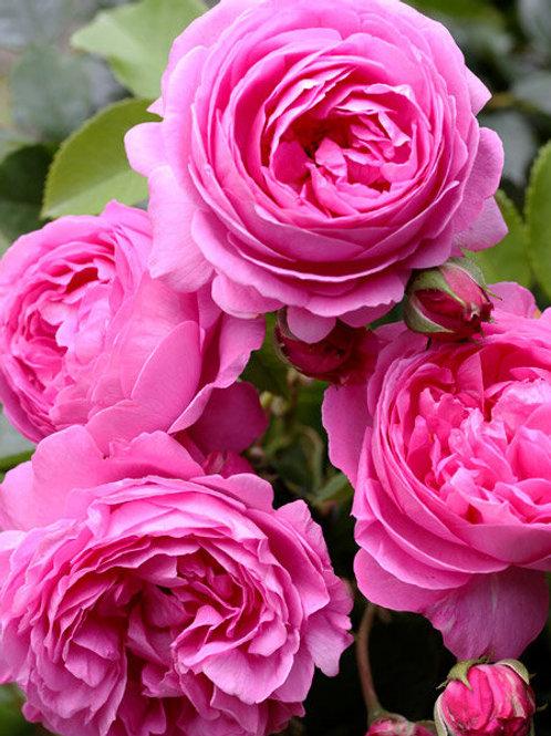Роза парковая 'Луиз Одьер' (LOUISE ODIER)