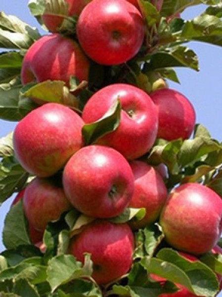 Яблоня колоновидная 'Останкино'