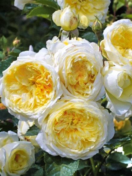 Роза английская 'Пилгрим' (THE PILGRIM)