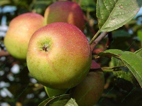 Яблоня 'Орлинка'