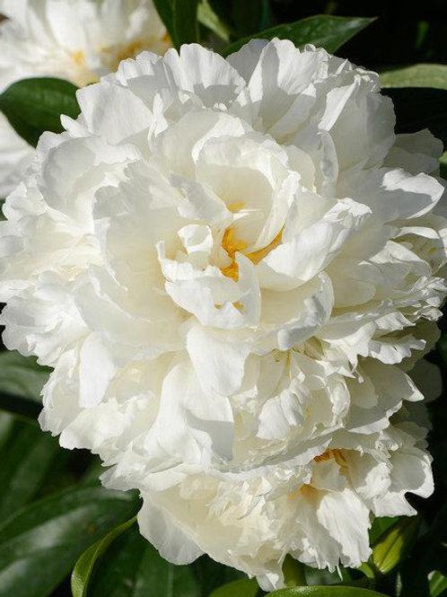 Пион 'Gardenia'