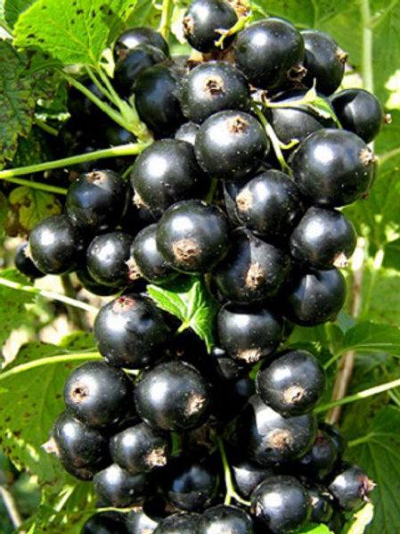 Смородина черная 'Литвиновская'
