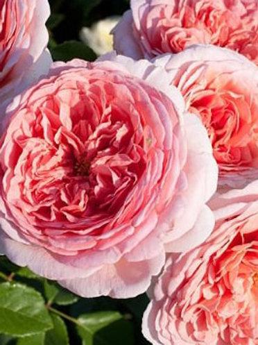 Роза английская 'Абрахам Дерби' (ABRAHAM DARBY)