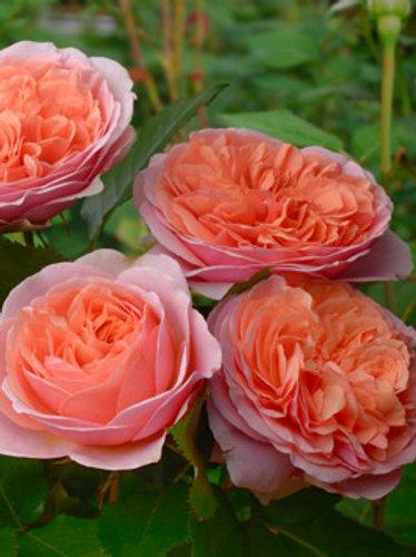 Роза английская 'Чарльз Остин' (CHARLES AUSTIN)