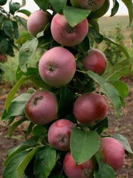 Яблоня колоновидная 'Васюган'