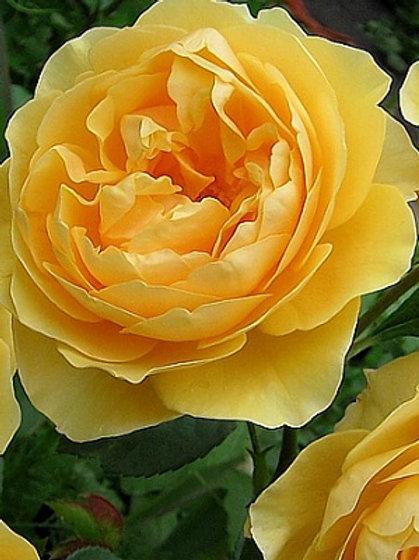 Роза английская 'Грэхам Томас' (GRAHAM THOMAS)