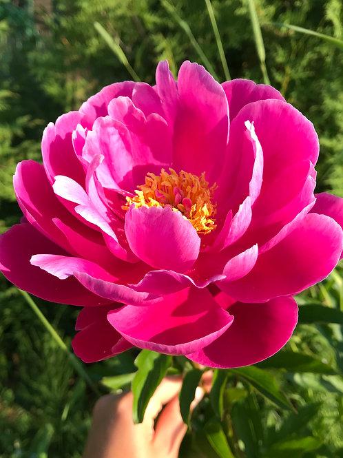 Пион (ярко-розовый, не махровый)