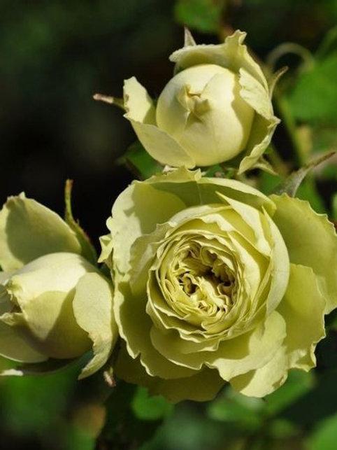 Роза флорибунда 'Лавли Грин' (LOVELY GREEN)