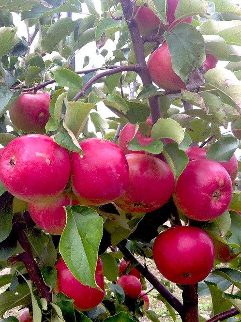 Яблоня 'Жигулевское'