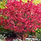 Thumbnail: Бересклет крылатый 'Ред Каскад'