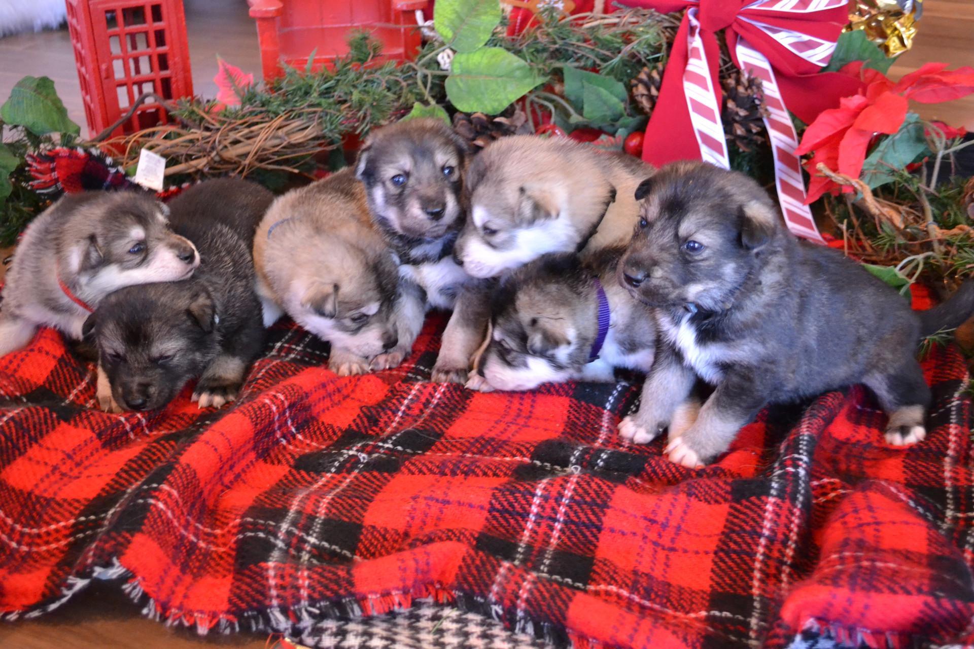 Nightfall Litter 3 Weeks Old