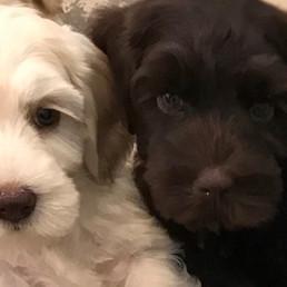 Puppies_brn_cream.jpg