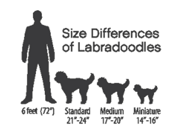differing-sizes-of-labradoodles.png