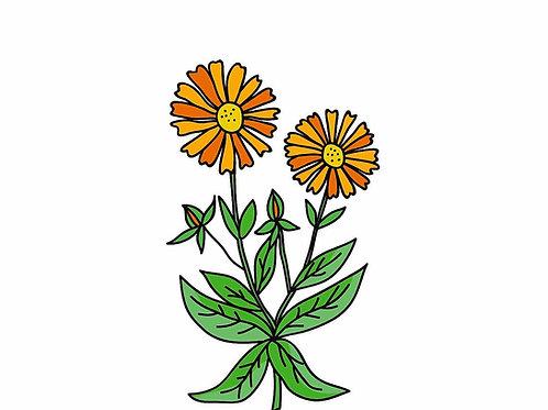 ציפורן חתול אורגני (קלנדולה) - פרחים