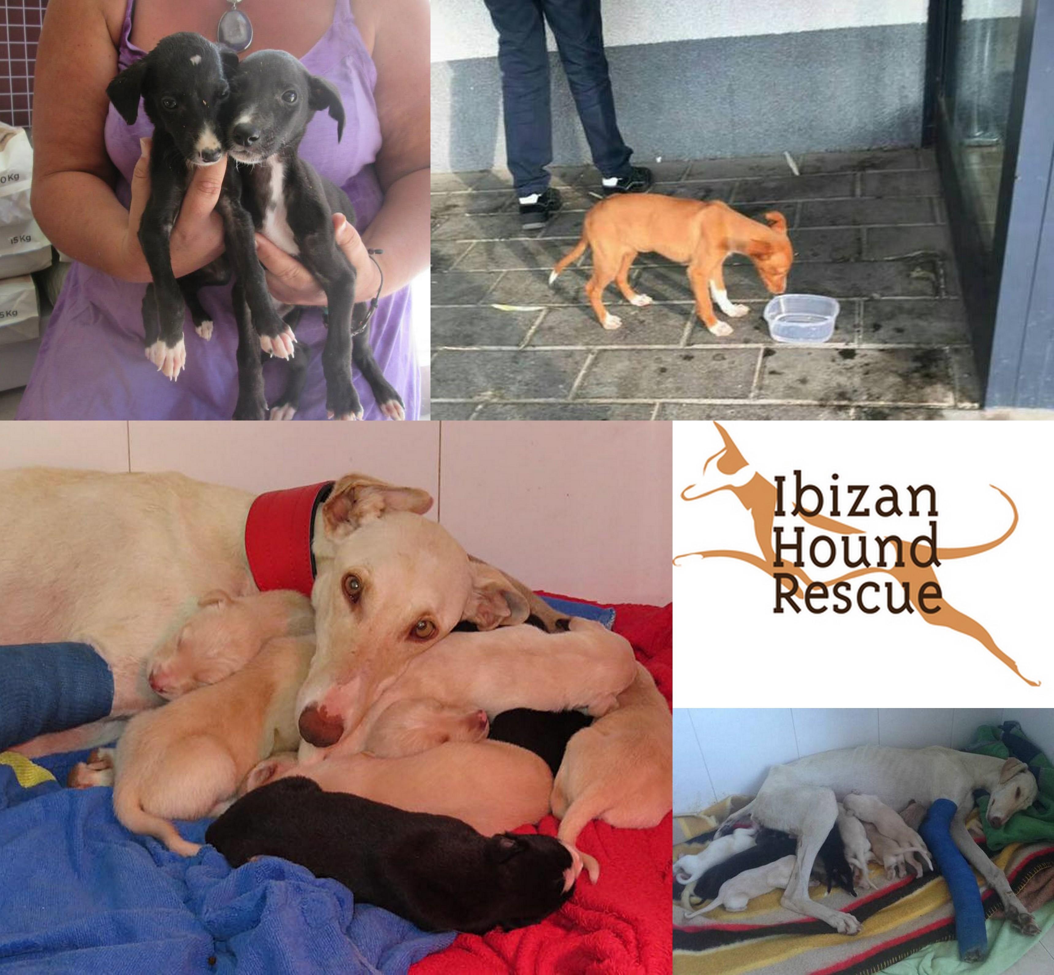 Ibizan Hound Rescue