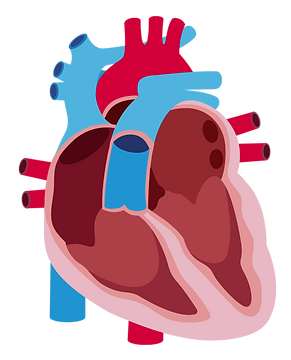 Pulmonary hypertension heart graphic