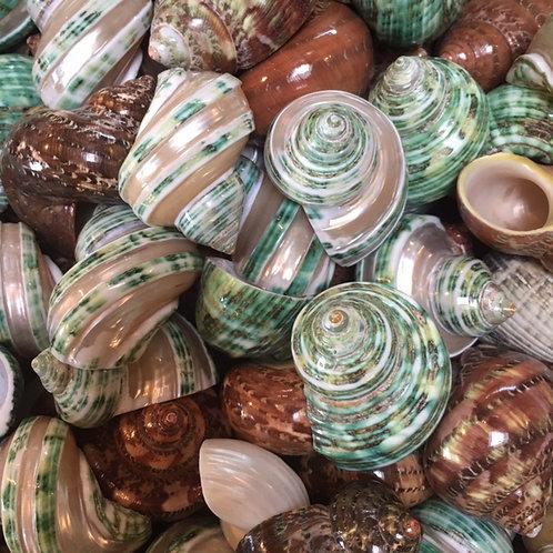 Turban shells - set of 3