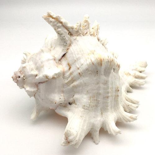 Murex ramosus shell