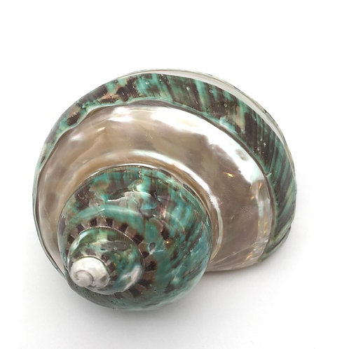 Jade turbo imperial banded shell