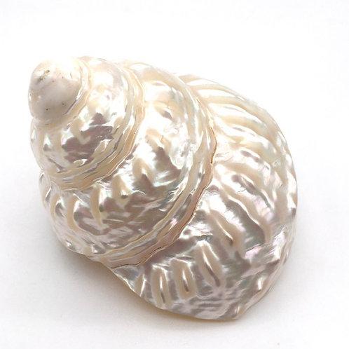 Wavy turban shell