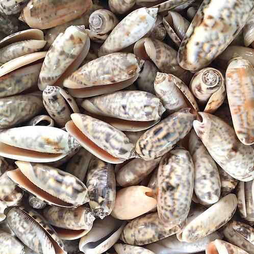 Olive shells - set of 3