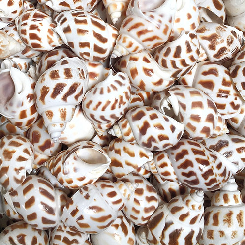 Spotted babylon shells - set of 3