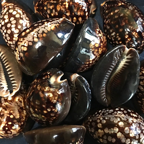 Humpback cowrie shell