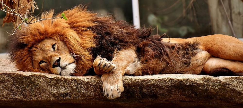 Un lion qui dort sur une pierre