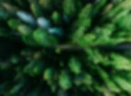 Gli alberi di pino Aeree