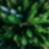 空中松の木