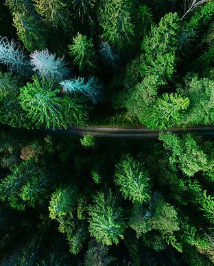 Les arbres de pin aériens