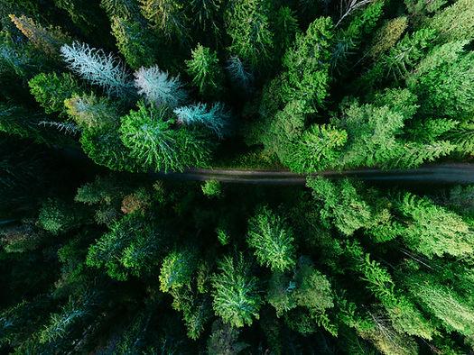 Los árboles de pino aéreas