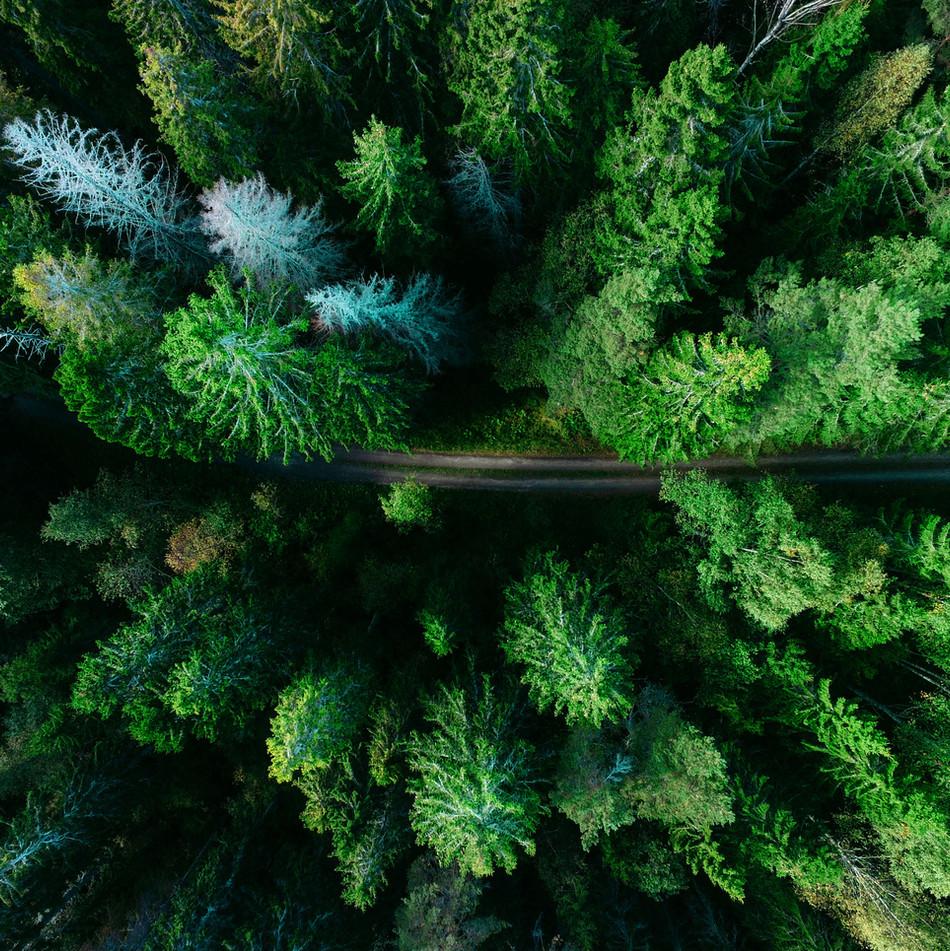 Aerial fyrretræer