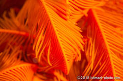 orange-colored feather star