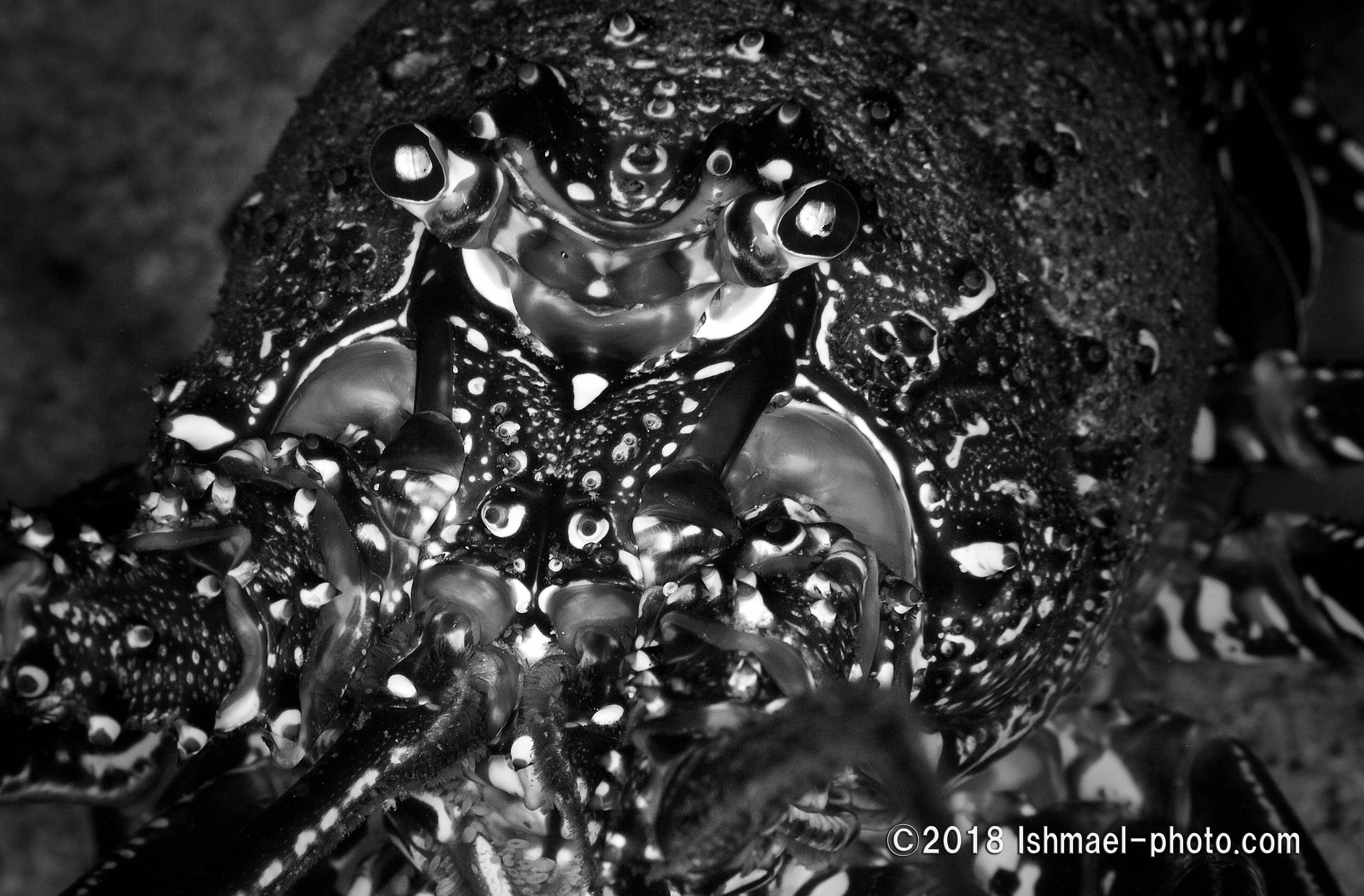 Spiny lobster カノコイセエビ